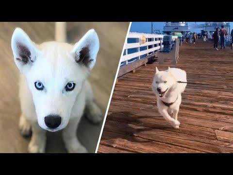 Dog with partial brain invents new way to walk #Video