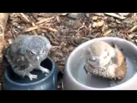 Baby Owl Takes A Bath