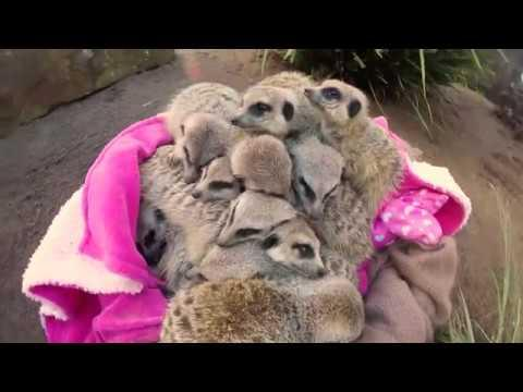 Meerkats have an adorable Slumber Party