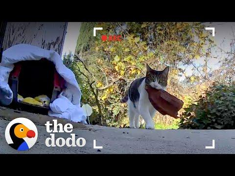 Cat Keeps Stealing Things From The Neighbors #Video