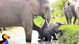 Baby Elephant Stuck In River Gets A Push From Mom   The Dodo