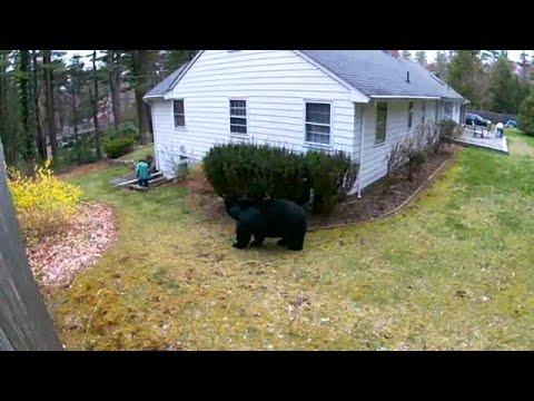 EYEWITNESS: Bear walks up on people outside in Avon without them seeing it! #Video