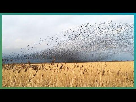 Amazing Bird Murmurations - #EarthCapture - Earth Unplugged