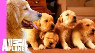 Growing Up Golden: Golden Retriever Puppies   Too Cute!