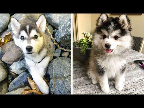 Funny And SOO Cute Husky Puppies Compilation #10 - Cutest Husky Puppy #Video