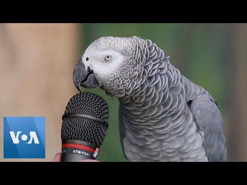 SMART AND FUNNY BIRDS - TALKING PARROT VIDEO COMPILATION