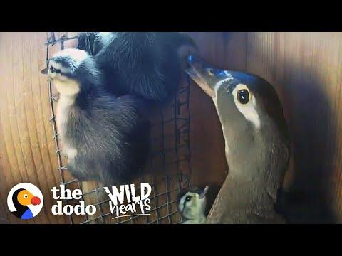 Mama Duck Coaches Her Babies Out Of The Nest For The First Time | The Dodo Wild Hearts