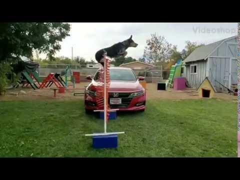 Dog jumps Honda Accord