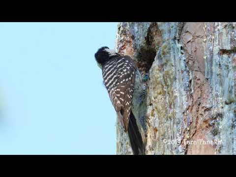 Endangered Red-cockaded Woodpeckers feeding young