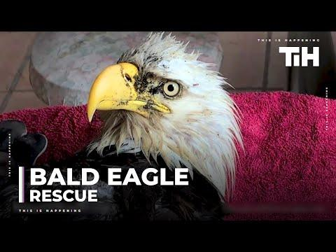 Woman Rescues Injured Bald Eagle From the Woods Video