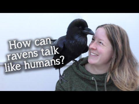 Fable the Raven | How do Ravens speak like humans? #Video