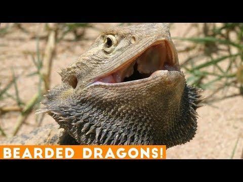 BEARDED DRAGON - A Cute And Funny Bearded Dragon Videos