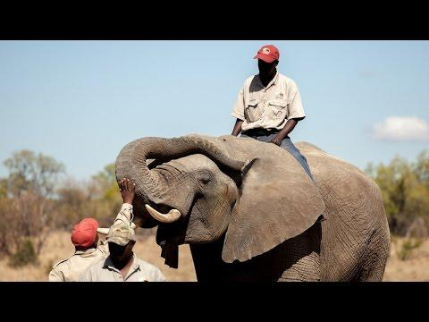 Detector Elephants: Gentle Giants Sniff Out Explosives