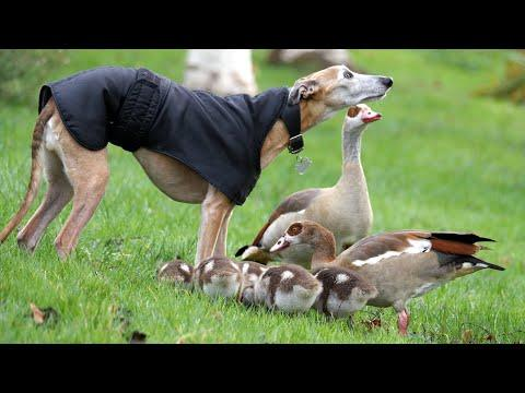Egyptian Goose Family & Dog Video