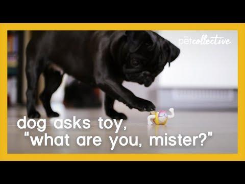 Shy Pug Plays with Bath Toy Video