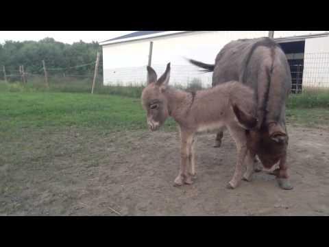 Baby Donkey Falls Asleep!!!!!!