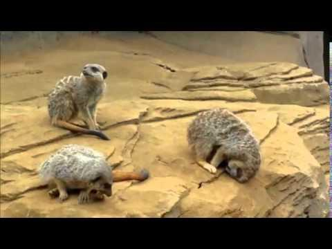 Sleeping Meerkat Falls Off Rock