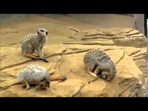 Sleeping Meerkat Falls Off Rock
