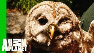 Rescuing An Injured Owl With Head Injuries From A Car Accident | North Woods Law