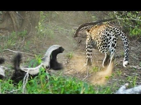 Honey Badger Saves Baby From Leopard - Your Daily Dose Of Internet