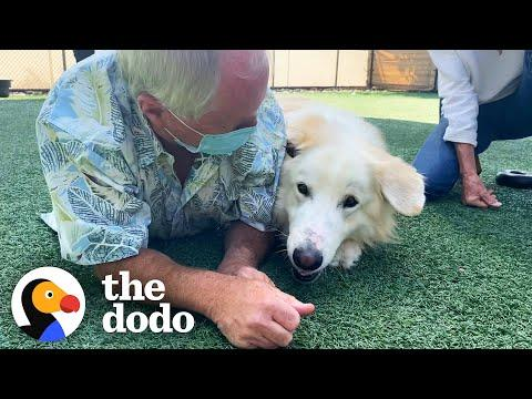 115-Pound Great Pyrenees Video. He Keeps Getting Adopted And Returned Until ...