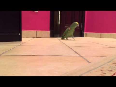 Parrot Laughs Like A Super-Villain