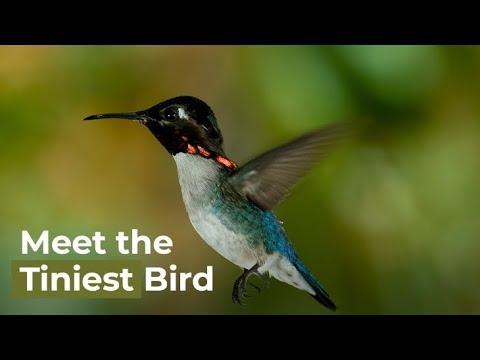 Meet The Smallest Bird On Earth - The Bee Hummingbird.