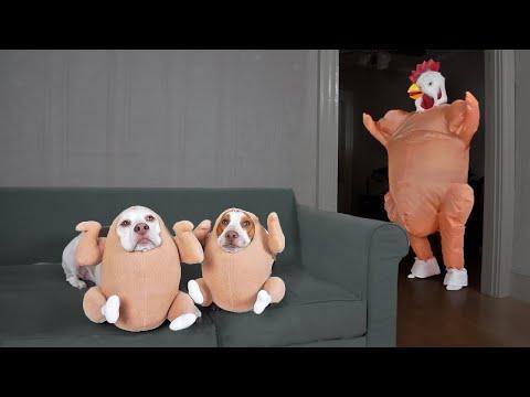 Chicken Dogs vs Dancing Chicken Prank: Funny Dogs Maymo, Potpie & Penny