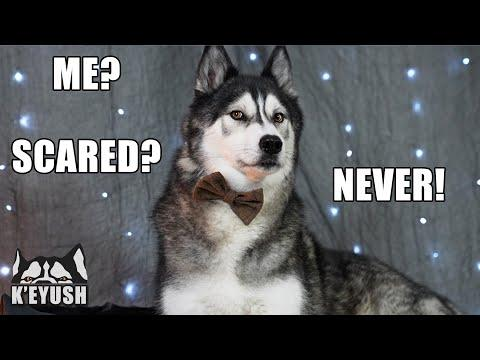My Husky Explains What He's Scared of Most! #Video