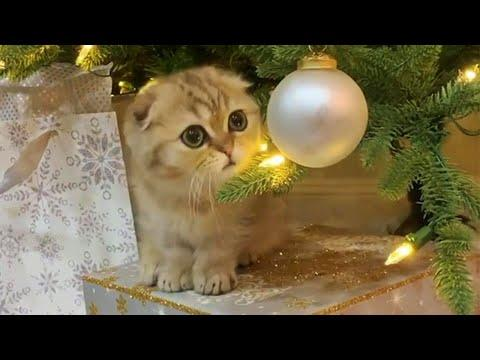 Munchkin Baby Cat Gets Christmas Presents Early Video