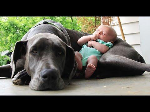 Big Dogs Playing With Babies Compilation