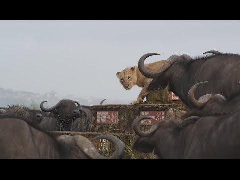 Buffalo Herd Surrounds Lonely Lion. Your Daily Dose Of Internet