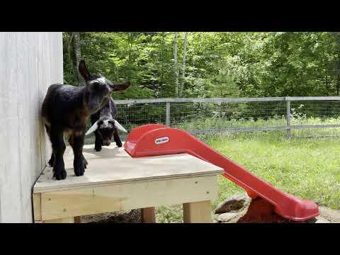 Goat Kids' Playhouse. Sunflower Farm Creamery. #Video