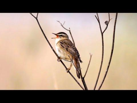 Sedge Warbler Singing Video