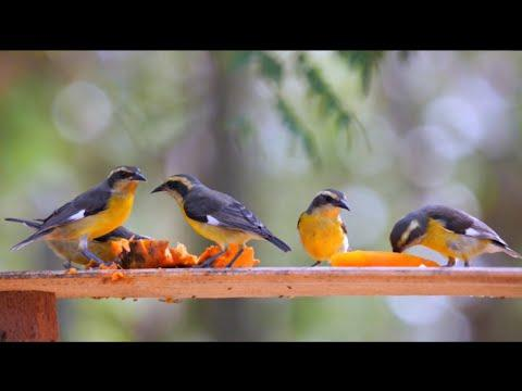 Bananaquits in Colombia Video