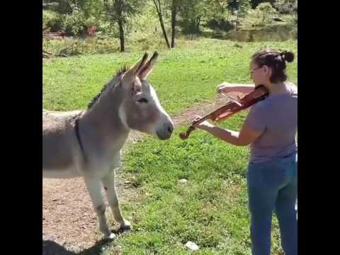 Donkey Loves Sound of Violin Video