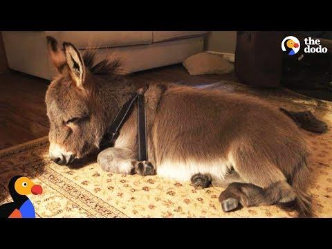 Tiny Donkey Thinks He's Actually A Dog Video