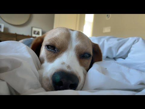 Sleepy beagle can't keep his eyes open video