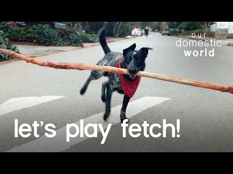 This Dog Fetches The World's Biggest Stick?!?! | Our Domestic World Video
