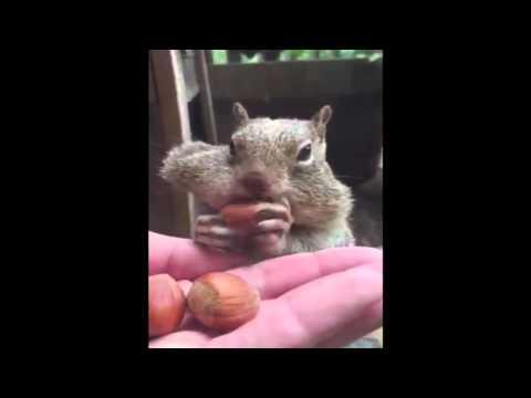 Squirrel Stuffs Itself With Acorns