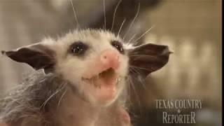 Opossum Rescue (Texas Country Reporter)