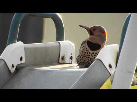 Machine Gun Woodpecker - Flicker Video