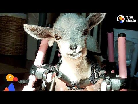Baby Goat Born Without Front Legs Is The Spunkiest Little Thing