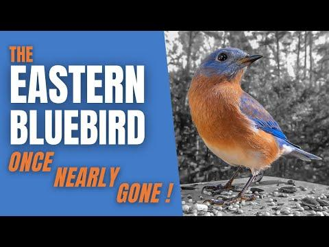 The EASTERN BLUEBIRD VIDEO | A Bird once almost GONE FOREVER!