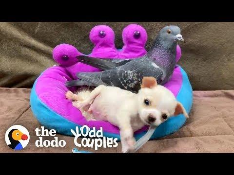 This Pigeon Adopted a Teeny-Tiny Chihuahua | The Dodo Odd Couples