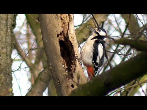 Great Spotted Woodpecker drumming. With slow-motion Video , 4K