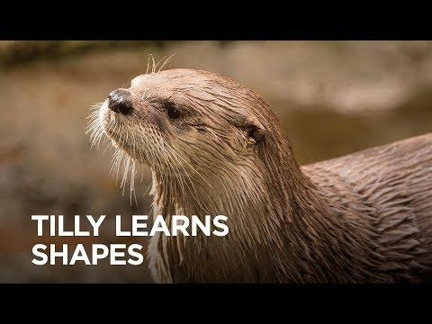 Rescued River Otter Tilly Learns Shapes