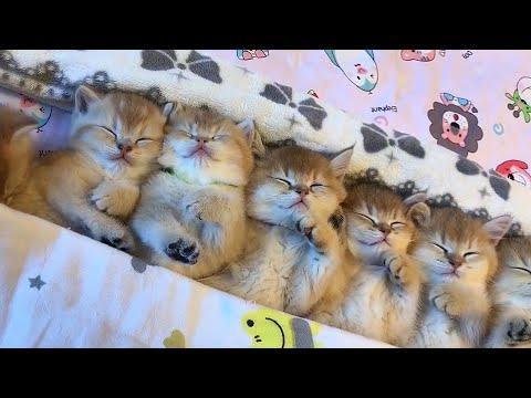 Sleepy Kitten Nuggets Video