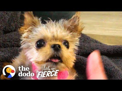 Half-Pound Puppy Wins Over His Big Dog Sister. Video.