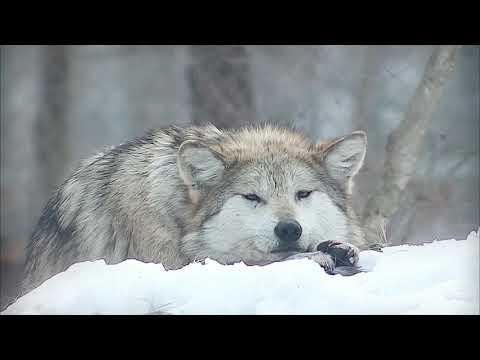 Your Moment of Calm with Mexican Gray Wolf Video